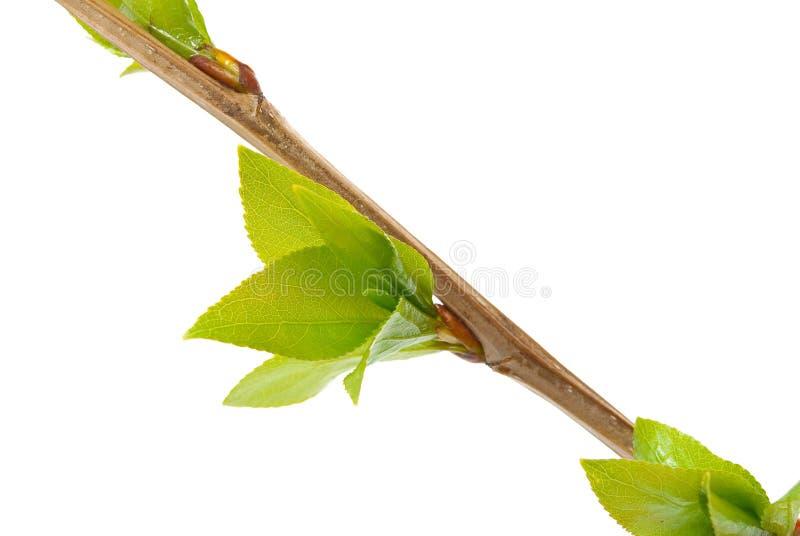 白杨木分行结构树 图库摄影