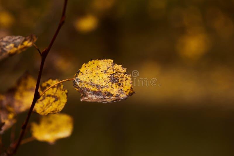 白杨木叶子照片在树的 金黄秋天 温暖的棕色和黑暗的背景 库存图片