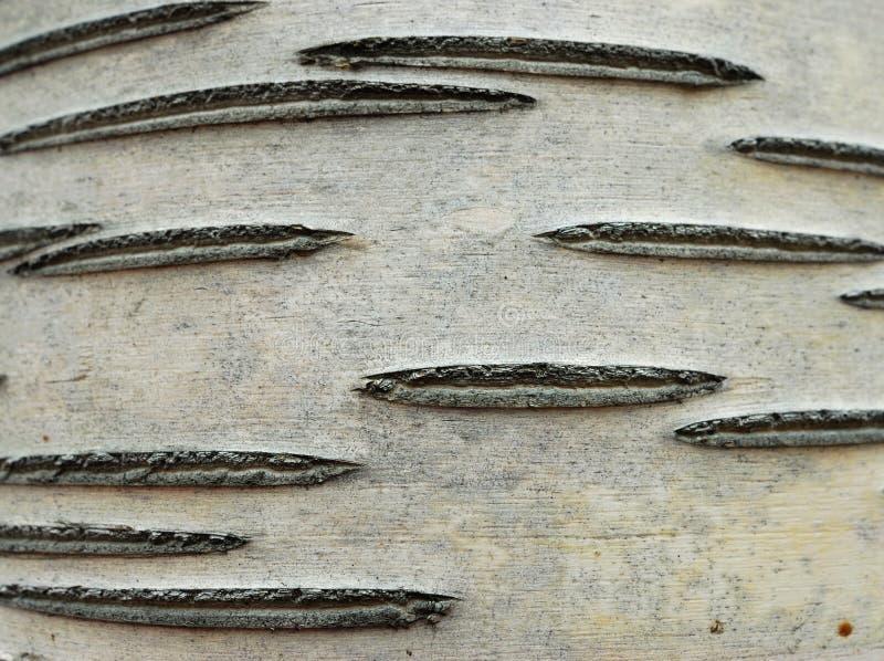 白杨木吠声结构树 免版税图库摄影