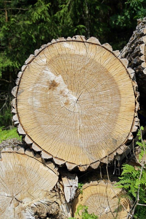?? ?? 白杨木和木镇压年轮纹理  免版税库存照片