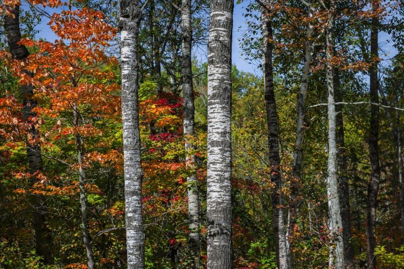 白杨木在秋天森林里 免版税库存照片