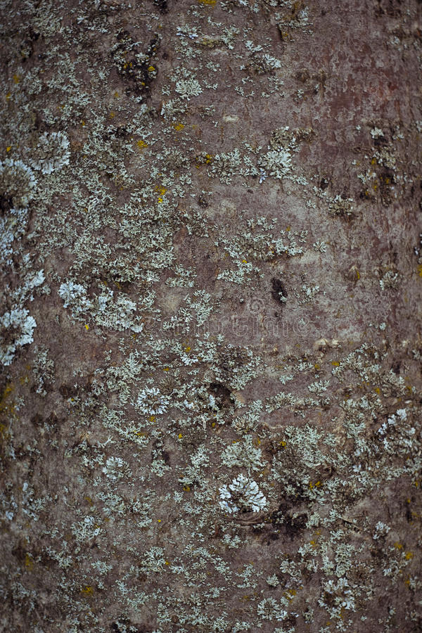 白杨木树皮纹理  库存图片