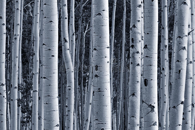白杨木森林 库存图片