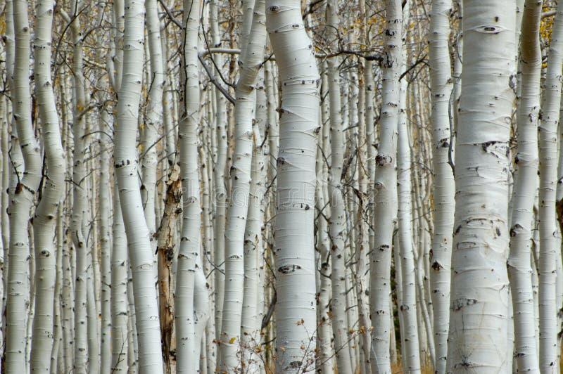 白杨木森林 免版税库存图片
