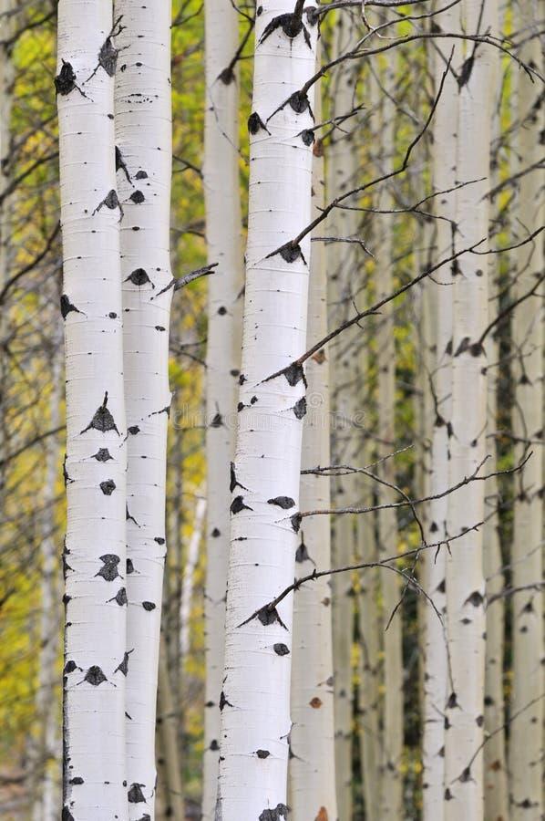 白杨木秋天树丛 库存照片