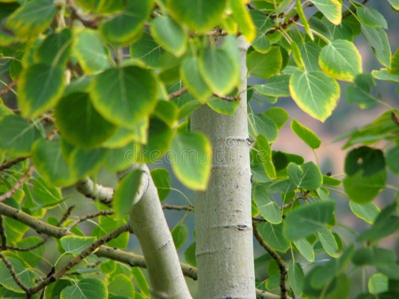 白杨木秋天结构树 免版税库存照片