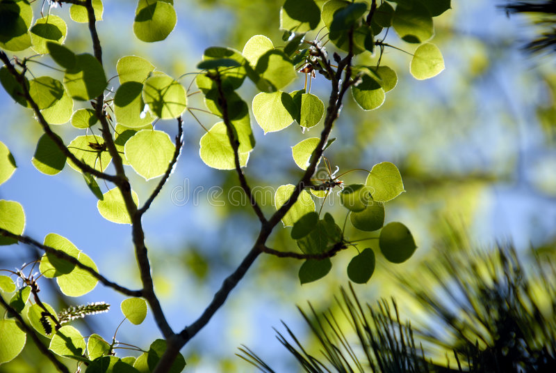 白杨木绿色板簧 免版税库存照片