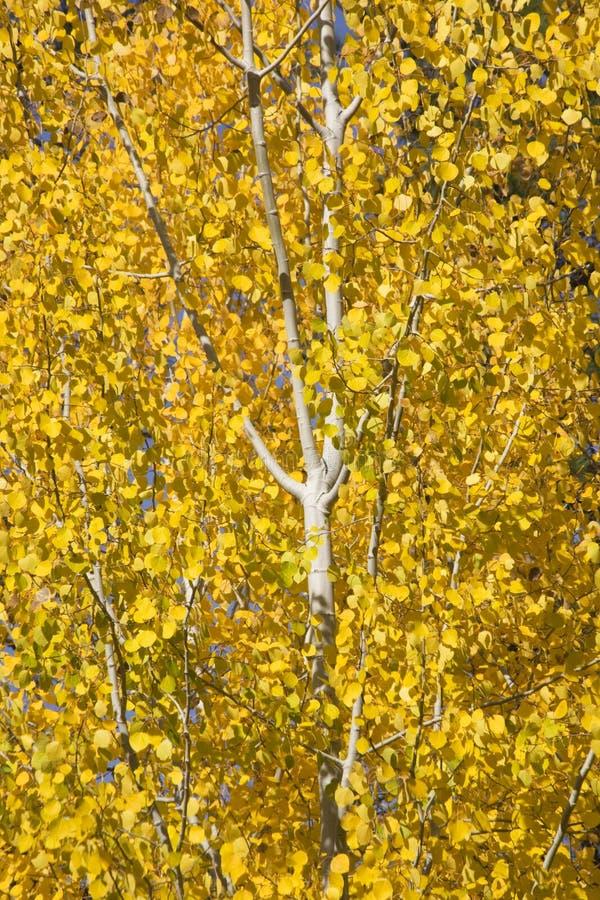 白杨木金颤抖的结构树黄色 库存照片