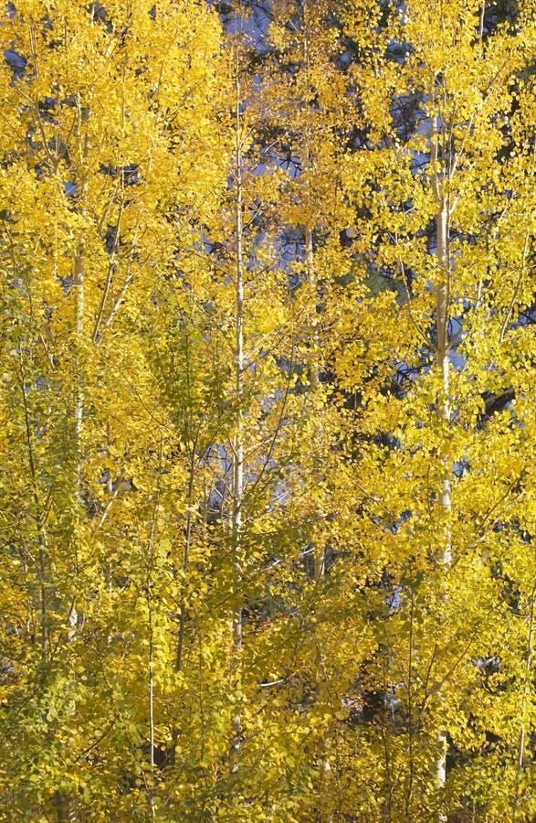 白杨木金颤抖的结构树黄色 库存图片