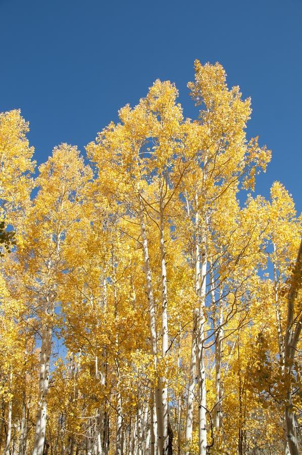 白杨木金黄结构树 免版税库存照片