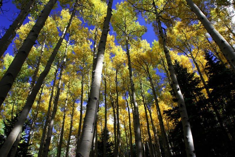 白杨木颜色秋天森林 免版税库存照片