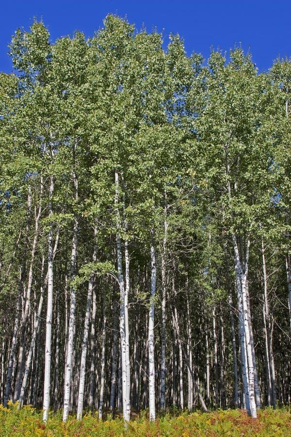 白杨木高大的树木森林 免版税库存图片