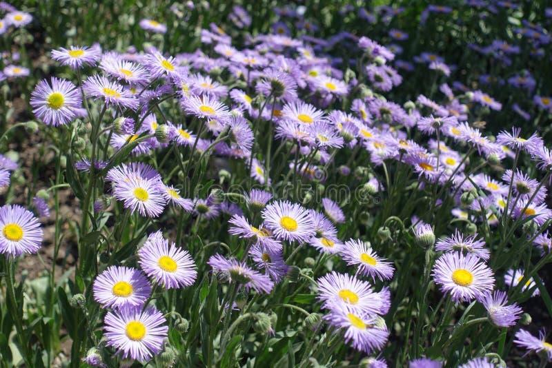 白杨木fleabane许多紫罗兰色flowerheads  图库摄影
