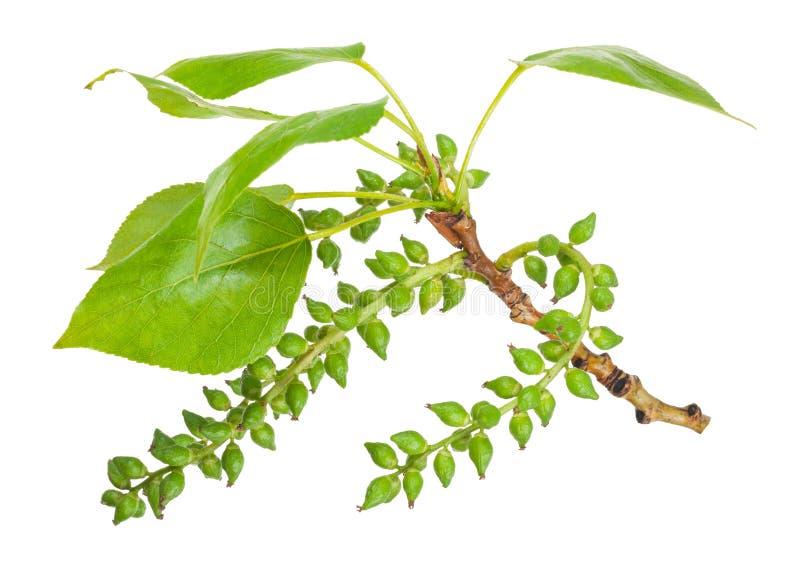 白杨树分支 库存照片