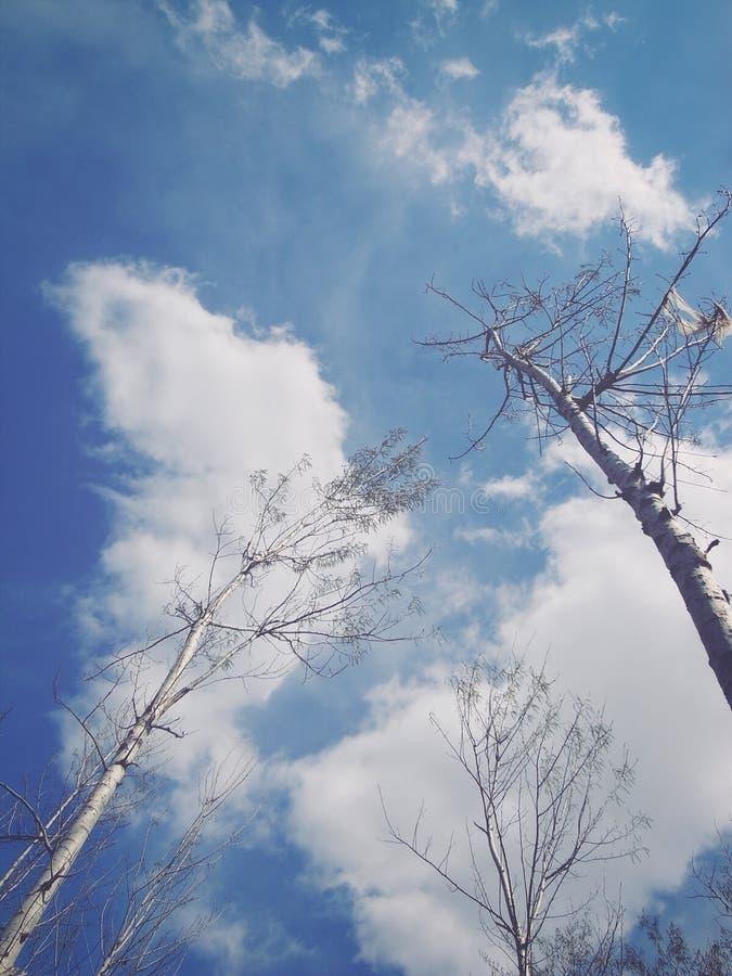 白杨树天空蔚蓝 免版税库存图片