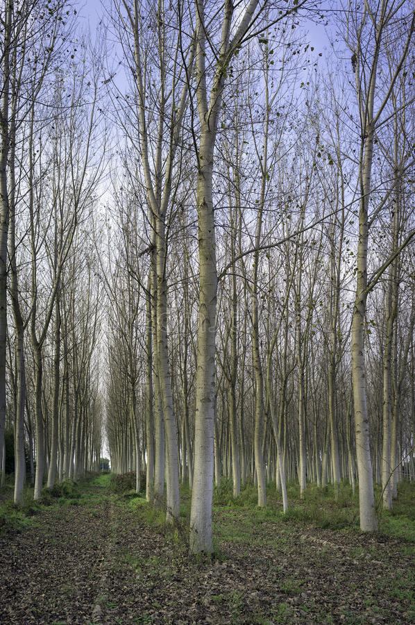 白杨树小灌木林在早期的秋天的 颜色女儿图象母亲二 免版税库存图片