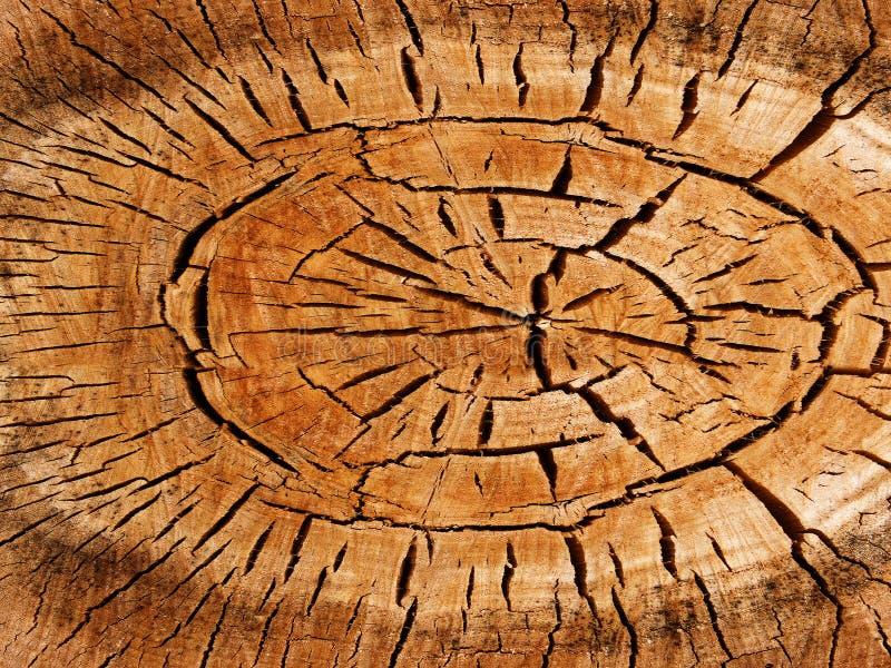 白杨树构造结构树 免版税图库摄影