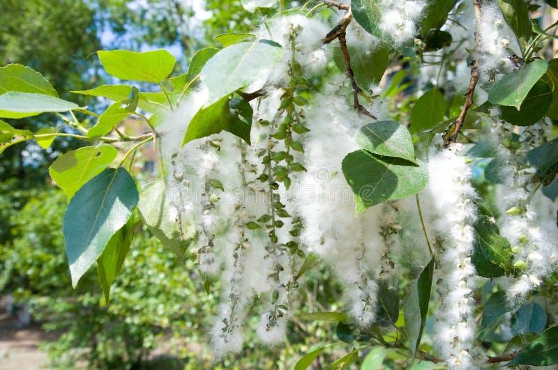 白杨树种子一束 免版税库存照片