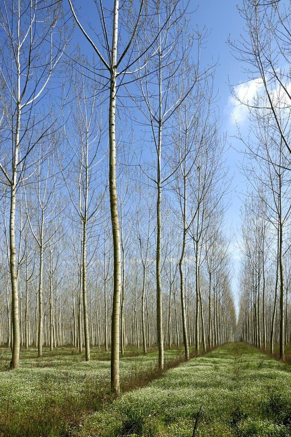 白杨树 库存照片