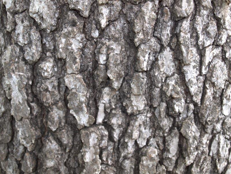 白栎木树皮 库存图片