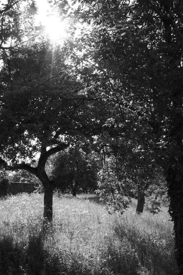 黑白树 免版税库存照片