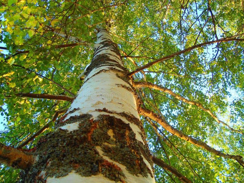 白桦在明亮的森林里 免版税库存图片