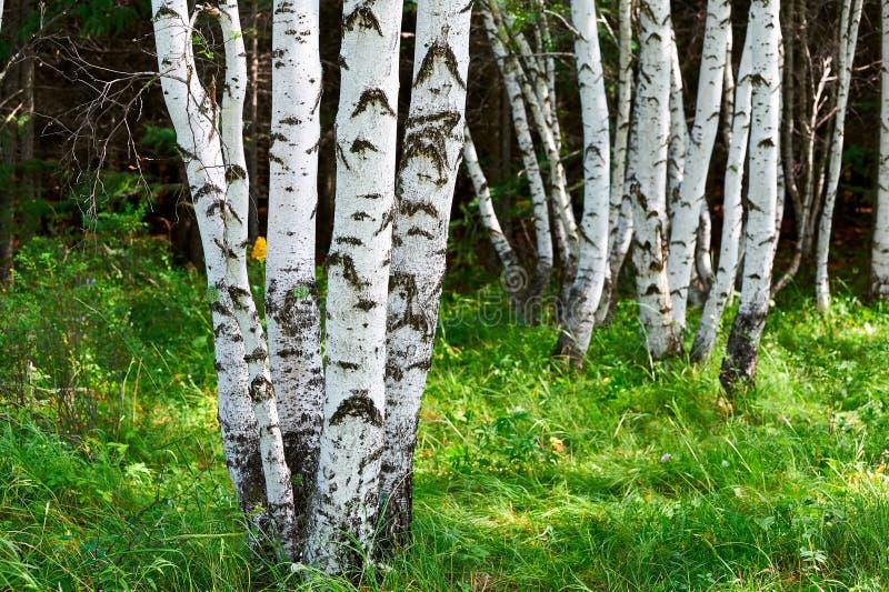 白桦树在森林里 免版税库存图片