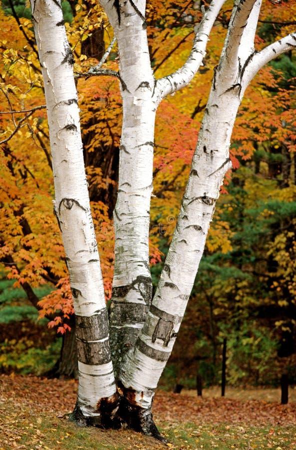 白桦树在秋天 库存图片