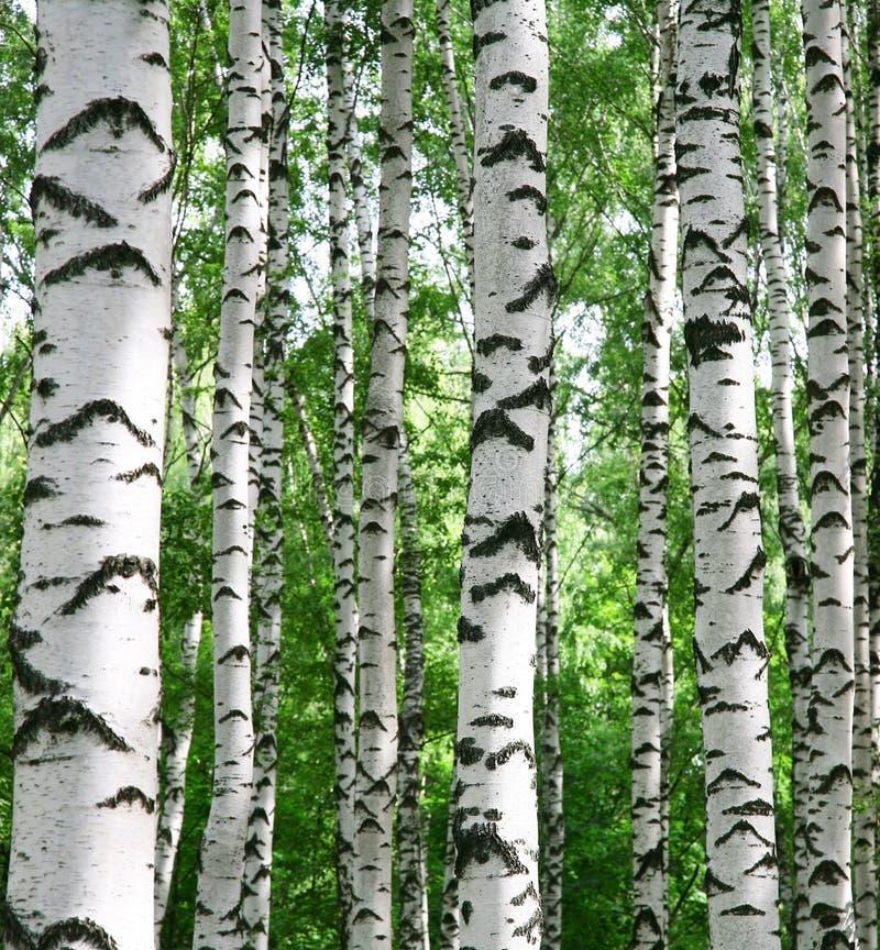 白桦树干在夏天晴朗的森林里 库存图片