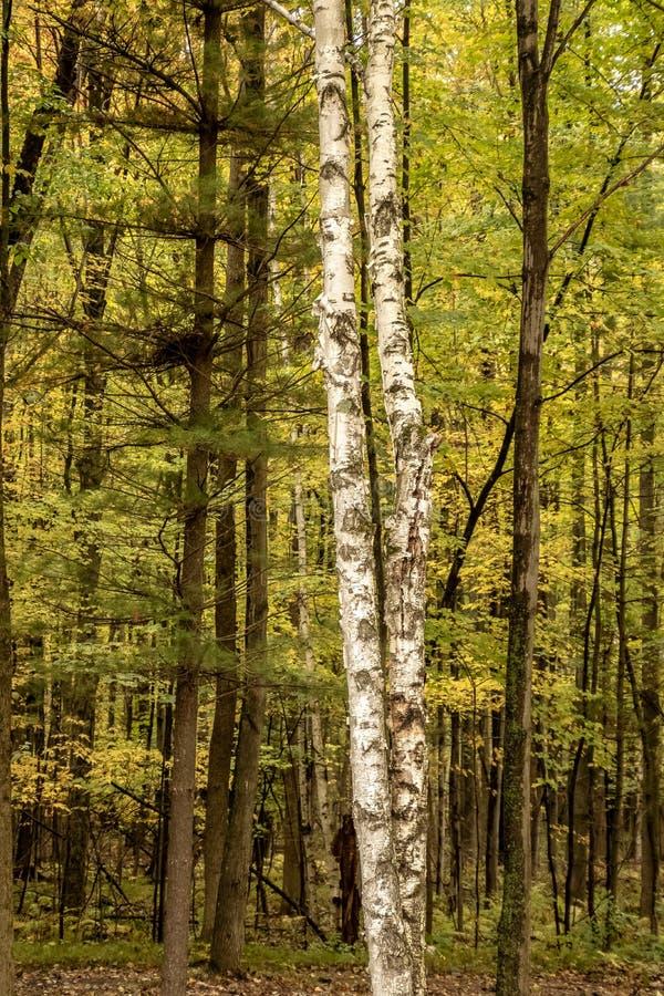 白桦树是前面和中心在Northwoods森林里 库存照片