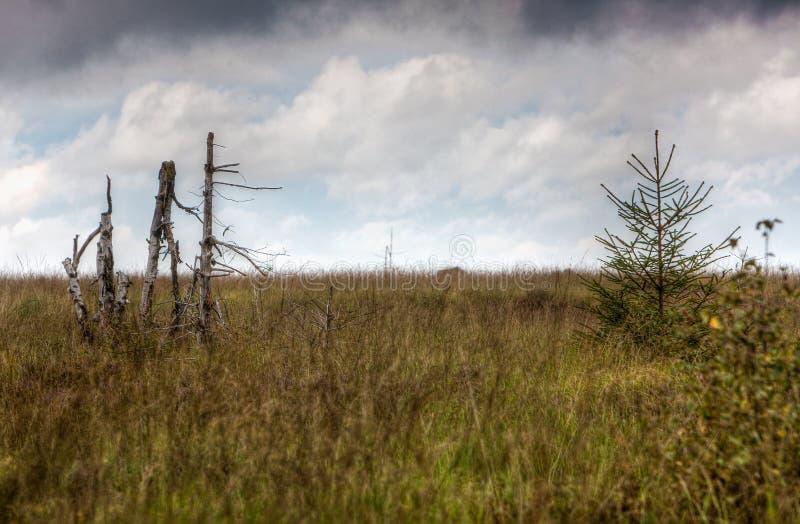 白桦树树干高市分使Botrange比利时环境美化 免版税图库摄影