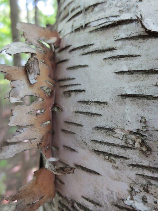 白桦树皮树 免版税库存图片