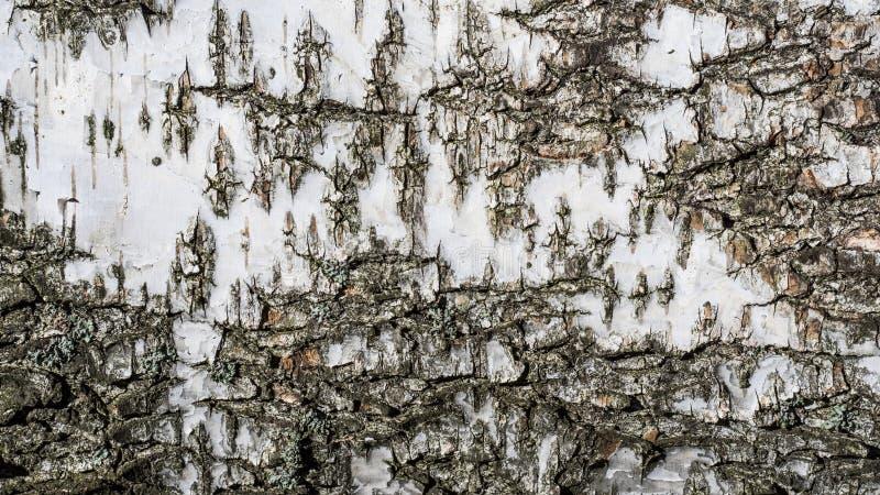 白桦树皮纹理背景  库存图片