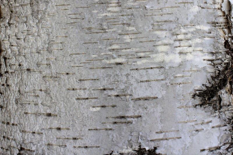 白桦树皮自然本底与自然桦树纹理的 免版税库存照片