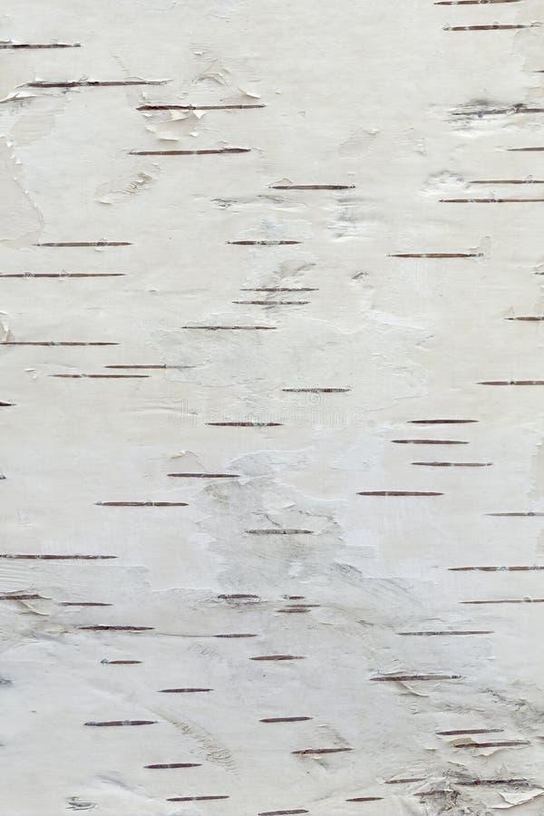 白桦树皮,纹理 免版税图库摄影
