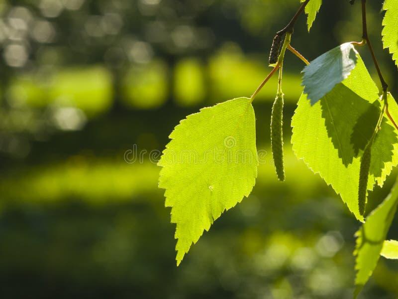 白桦树, Betula Pendula,树叶子在早晨阳光,选择聚焦,浅DOF下 免版税库存照片