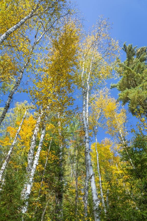 白桦树(桦属papyrifera)在反对蓝色S的秋天 免版税图库摄影