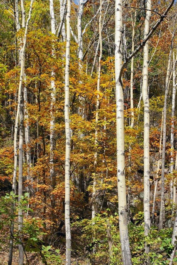 白桦树 免版税库存图片
