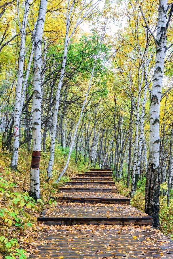 白桦森林和木头道路 免版税库存照片