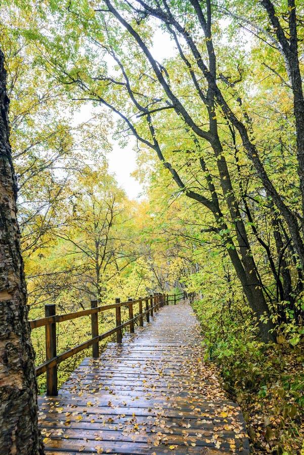 白桦森林和木头道路 库存图片