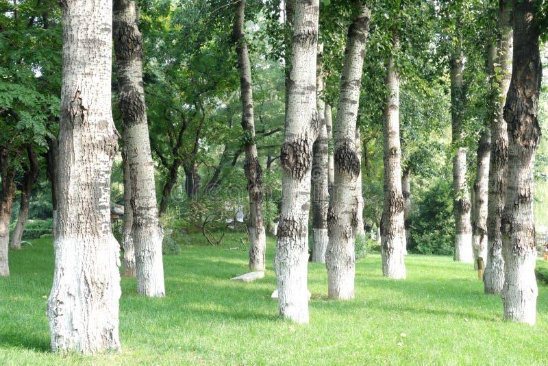 白桦森林  库存图片