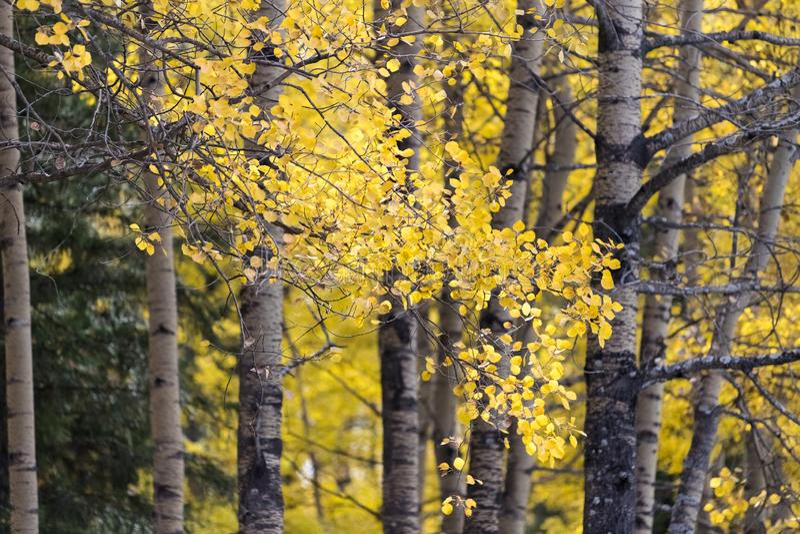 白桦美好的秋天风景  库存图片