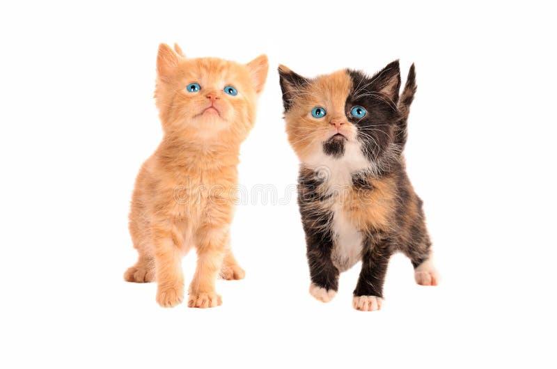 白棉布和橙色平纹小猫 免版税库存照片