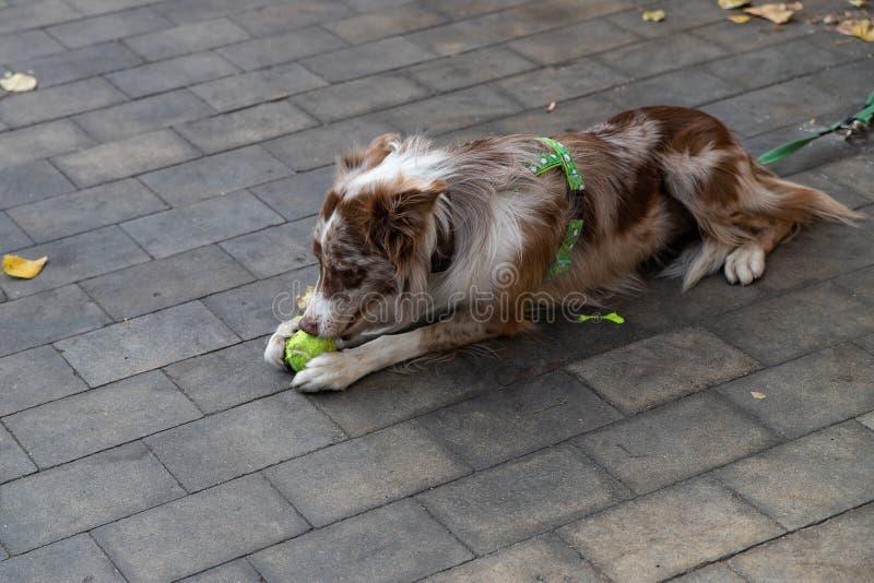 白棕色边境小狗 英国中型智能移动牧羊犬 免版税图库摄影