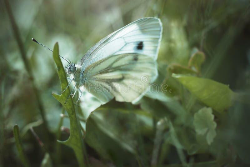 白椰菜蝴蝶坐蒲公英叶子在绿色被弄脏的背景的 从家庭粉蝶科的皮利斯rapae 免版税图库摄影
