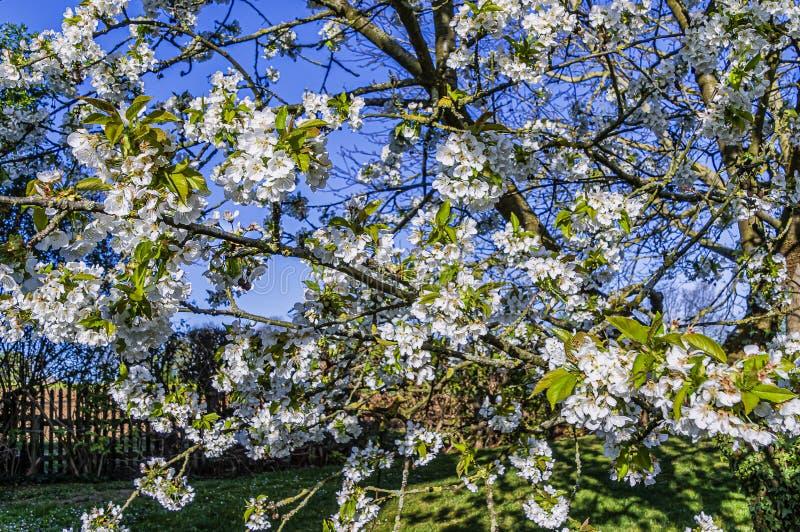 白樱桃 库存图片
