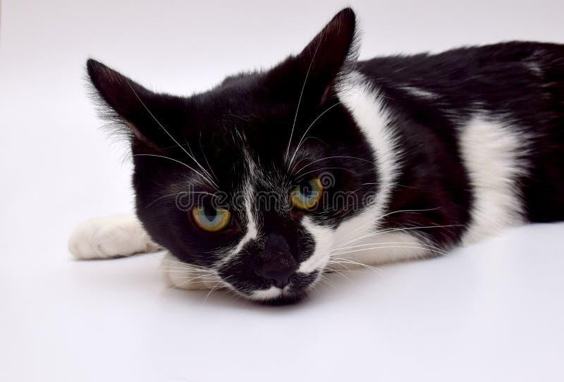 黑白欧洲猫 库存照片