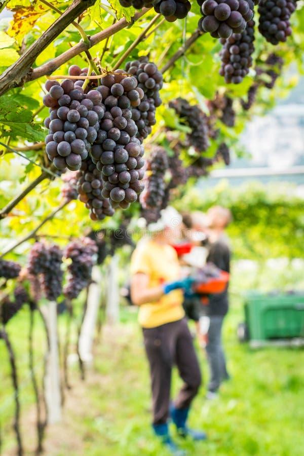 白比诺葡萄Grigio葡萄品种 成熟葡萄在收获期间的在波尔扎诺自治省/特伦托自治省女低音阿迪杰,意大利北部葡萄园  免版税库存照片