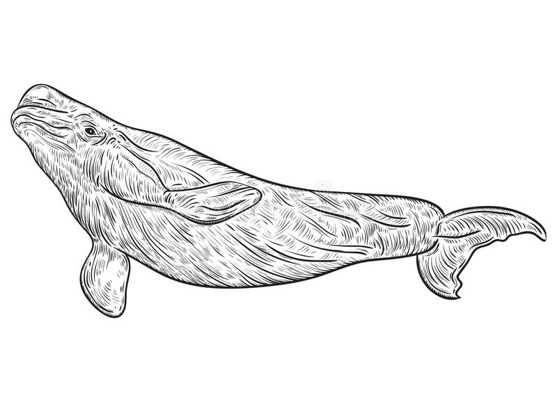 白海豚鲸鱼 库存例证