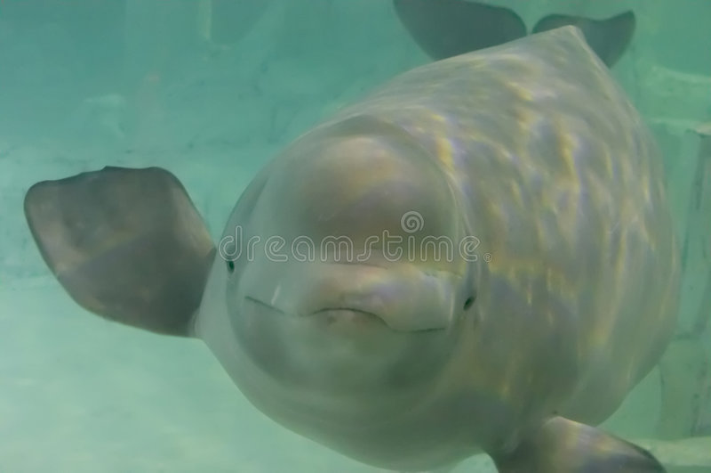 白海豚 库存图片